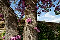 Cercis siliquastrum Judas tree flowering trunk at Myddelton House, Enfield, London 04.jpg