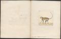 Cercopithecus sabaeus - 1700-1880 - Print - Iconographia Zoologica - Special Collections University of Amsterdam - UBA01 IZ19900085.tif