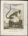 Cercopithecus sabaeus - 1700-1880 - Print - Iconographia Zoologica - Special Collections University of Amsterdam - UBA01 IZ19900088.tif