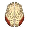 Cerebrum - Inferior parietal lobule - superior view.png