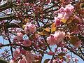 Cerisiers du Japon en fleurs à Sceaux.JPG