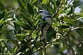 Cerulean Warbler (male) Anahuac NWR-Jackson Prairie Woodlot TX 2018-04-24 14-43-22 (42057544821).jpg
