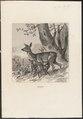 Cervus capreolus - 1700-1880 - Print - Iconographia Zoologica - Special Collections University of Amsterdam - UBA01 IZ21500005.tif