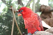 A red parrot with black eye-spots