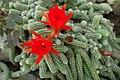 Chamaecereus silvestrii kz01.jpg