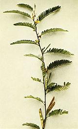 Chamaecrista nictitans WFNY-105A.jpg