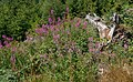 Chamaenerion angustifolium - Panoramic trail at the Lothar Path - Northern Black Forest 01.jpg