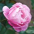 Chant Rose Misato (5236976594).jpg