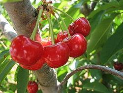 odla körsbär från kärna