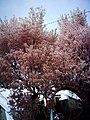 Cherry blossom near Zenpukuji river, Tokyo; July 2006 (15).jpg