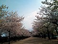 Cherry blossoms of Kikaku Park (Apr.2011).jpg