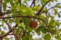 Cherry natural in Margarita island.jpg