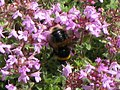 Chesters Walled Garden - bumblebee on thyme - geograph.org.uk - 1461233.jpg