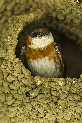Chestnut-collared Swallow - South Ecuador S4E9881 (16978771121).jpg