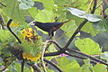 Chestnut-headed Oropendola (Psarocolius wagleri) (5772401014).jpg