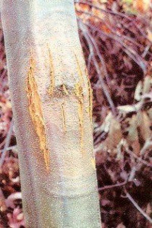Chestnut blight - Cankers caused by the fungal infection cause the bark to split.