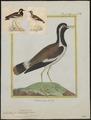 Chettusia indica - 1700-1880 - Print - Iconographia Zoologica - Special Collections University of Amsterdam - UBA01 IZ17200131.tif