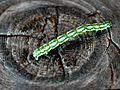 Chiasmia aestimaria larva.jpg