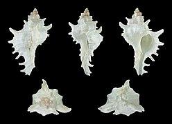 Chicoreus brevifrons 01.JPG