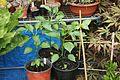 Chili-Pflanzen (9478760526).jpg