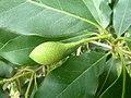 Chionanthus foveolatus subsp major, vrug, Manie vd Schijff BT, b.jpg