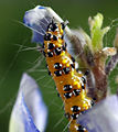 Chlosyne lacinia caterpillar.jpg