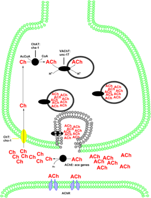 Choline acetyltransferase - Image: Cholinergic enzymes and transporters