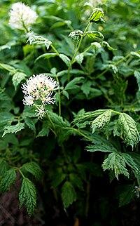 Christophskraut 'Actaea erythrocarpa' 5815.JPG