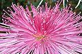 Chrysanthemum 菊(きく).jpg