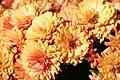 Chrysanthemum Warm Igloo 0zz.jpg