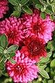 Chrysanthemum x Beth 1zz.jpg