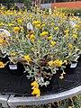 Chrysocephalum Apiculatum for sale.jpg