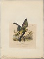 Chrysotis ochrocephala - 1838 - Print - Iconographia Zoologica - Special Collections University of Amsterdam - UBA01 IZ18600101.tif