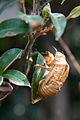 Cicada (Cicadidae sp.) exuvia - 20090926.jpg