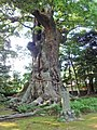 Cinnamomum camphora 20100601 (Kawazu) (A2).jpg