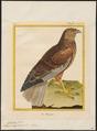 Circus aeruginosus - 1700-1880 - Print - Iconographia Zoologica - Special Collections University of Amsterdam - UBA01 IZ18300189.tif