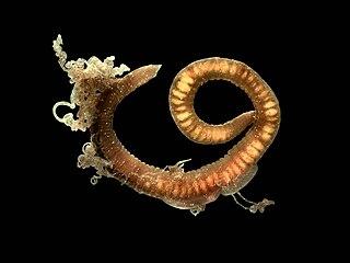 <i>Cirratulus cirratus</i> species of annelid