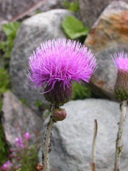 File:Cirsium helenioides1.JPG