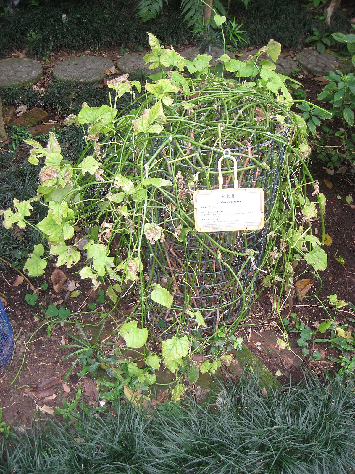 Cissus repens - Wikispecies
