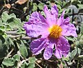 Cistus creticus RF.jpg