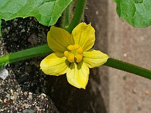 Citrullus colocynthis - A C. colocynthis female flower