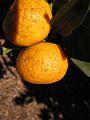Citrus reticulata-Cleopatra IMG 8746.jpg