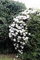 City of London Cemetery - flowering shrubs 02.jpg