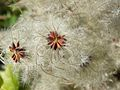 Clématite (Clematis flammula) - Lauroux.jpeg