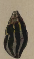 Clavus cantharis 001.png