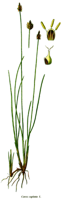 Kopf-Segge (Carex capitata), Illustration