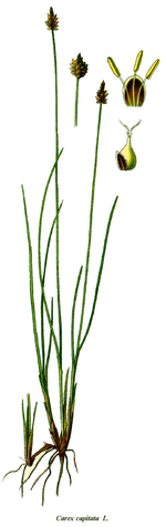 Cleaned-Carex capitata.png
