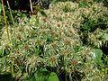 Clematis seed heads (6139036475).jpg