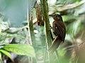 Clibanornis rubiginosus - Ruddy Foliage-gleaner.jpg