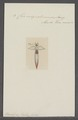 Clio miquelonensis - - Print - Iconographia Zoologica - Special Collections University of Amsterdam - UBAINV0274 080 11 0007.tif